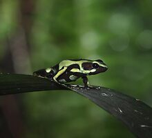 Green Tree Frog by John Absher