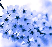 Cherry Blossom - Blue tone version by petejsmith