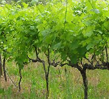Vines @ Stoneyfell by bal00