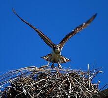 Osprey by flyfish70