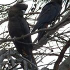 Endangered Glossy Black Cockatoos near Penneshaw - Kangaroo Island, South Australia by Dan & Emma Monceaux