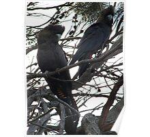 Endangered Glossy Black Cockatoos near Penneshaw - Kangaroo Island, South Australia Poster