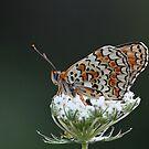 butterfly 2 by VladimirFloyd