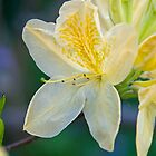 White Rhododendron. by Aler