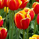 Bright Cheery Tulips by Gayle Shaw