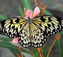 Open Wings Paper Kite - Idea leuconoe by Lepidoptera