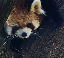 Red Panda by Kathy Newton