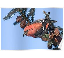 White-winged Crossbill. Poster