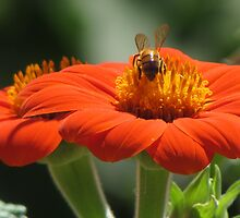 Bee on Mexican Sunflower by Ingasi