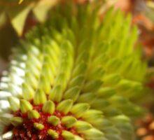 Banksia Baxteri Bud Sticker