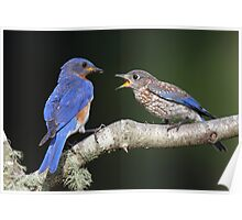 Eastern Bluebird with fledgling Poster