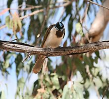 Blue Faced Honeyeater Looking At Me by aussiebushstick