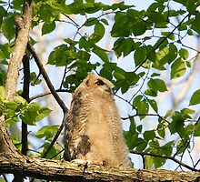 A Sunning Juvenile Great Horned Owl by DigitallyStill