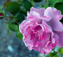 Mottled pink rose and bud by ♥⊱ B. Randi Bailey