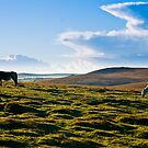 Wild Ponies Bodmin Moor by David Wilkins