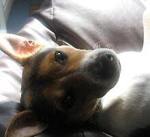 Max -Jack Russell Terrier (2) by Browneyedgirl78