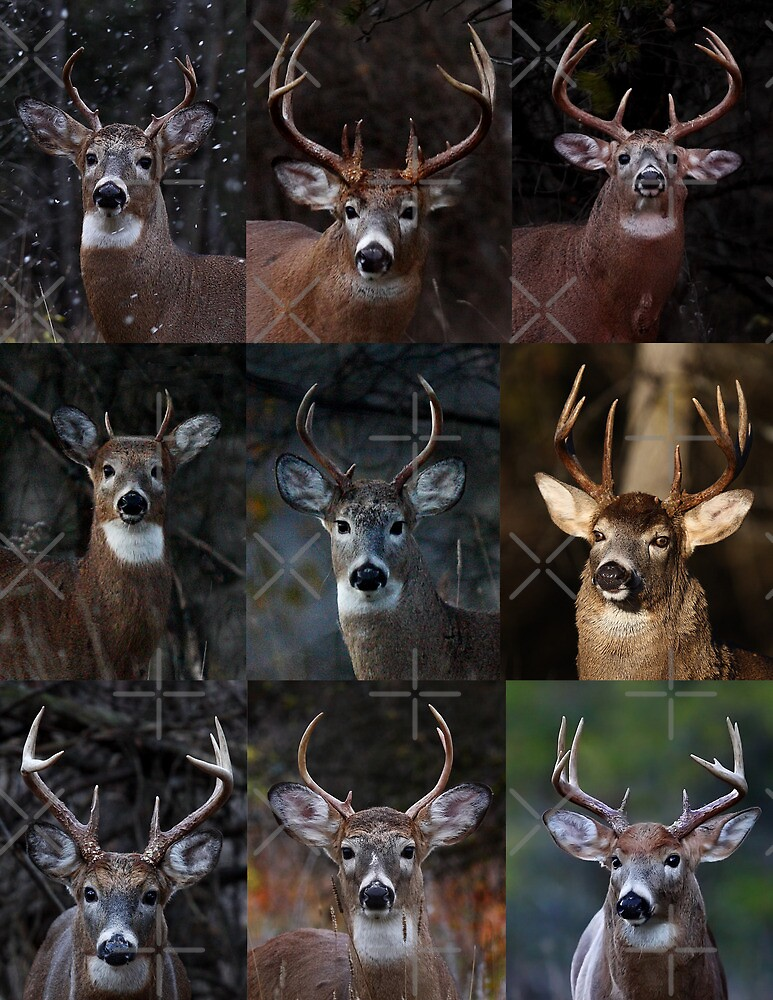 Group of nine - White-tailed Deer by Jim Cumming