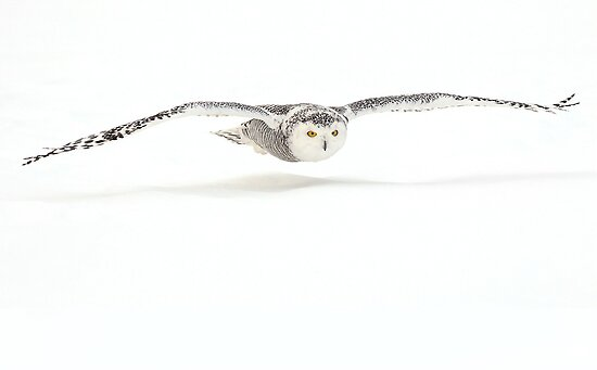 Shadowcaster / Snowy Owl by Gary Fairhead