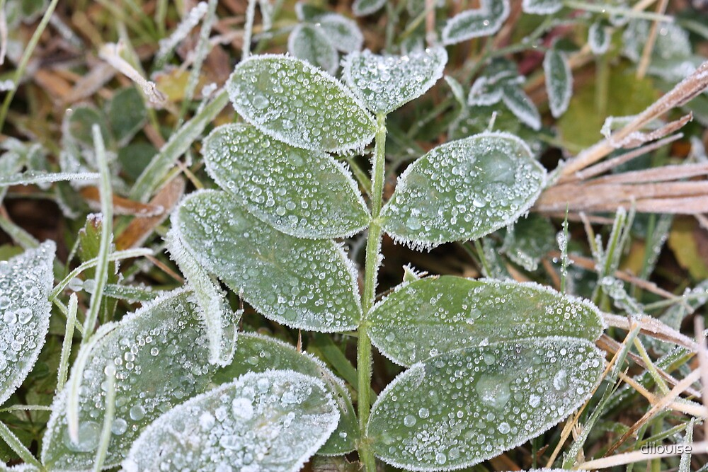 Frosty Foliage by dilouise