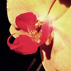 Orchid in Sunset by michaelajf