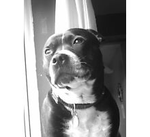 Staffy Bailey Photographic Print