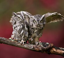 A Pair of Screech Owls - Milton Ontario by Raymond J Barlow