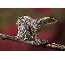 A Pair of Screech Owls - Milton Ontario Photographic Print