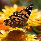Australian Painted Lady 2 by John  Spry