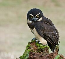 Spectacled Owl- Amherst Mass., USA by Raymond J Barlow