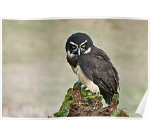 Spectacled Owl- Amherst Mass., USA Poster