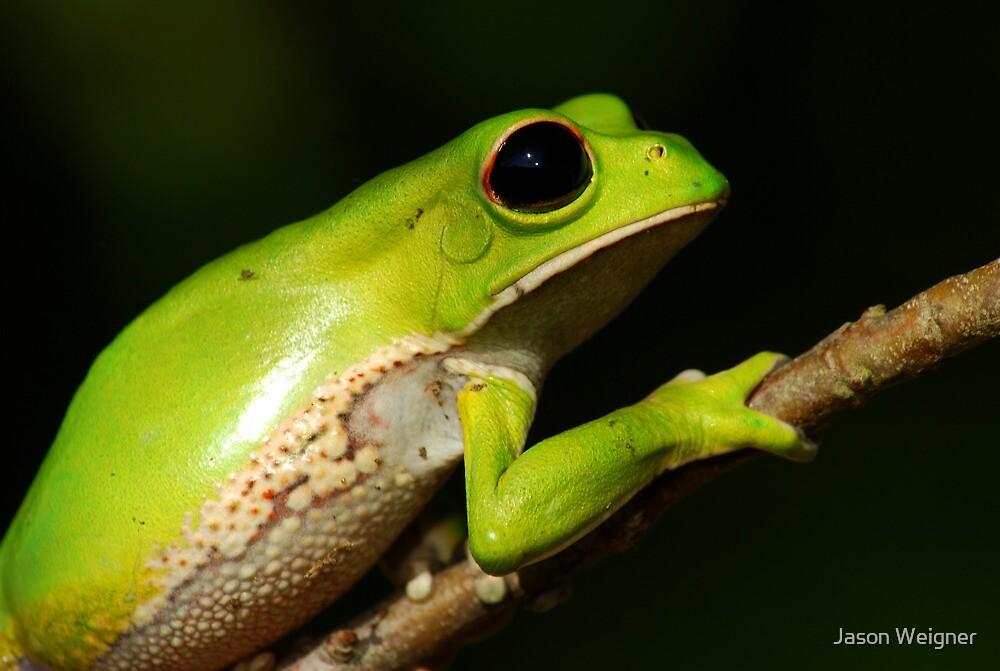 Monkey Tree Frog (Phyllomedusa boliviana) - Bolivia by Jason Weigner