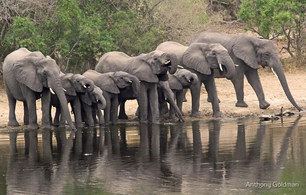 Breeding elephant herd taking a family drink! by jozi1