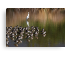 White Snowy Egret and Long Billed Dowitchers Canvas Print