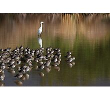 White Snowy Egret and Long Billed Dowitchers Photographic Print