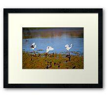 Egrets Landing Framed Print