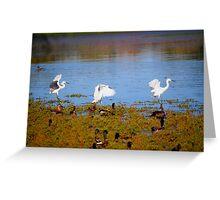 Egrets Landing Greeting Card