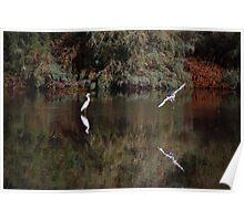 Snowy White Egret Landing Poster