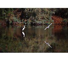 Snowy White Egret Landing Photographic Print