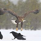 Approaching White-tailed Eagle by Remo Savisaar