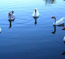 Geese Gathering by Tam Ryan