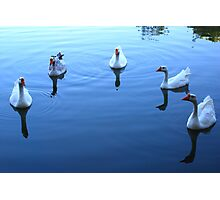 Geese Gathering Photographic Print
