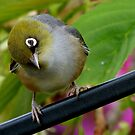  That&#x27;s Extraordinary! - Silvereye - NZ by AndreaEL