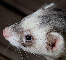 Ferret Profile by Caroline Hannessen