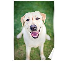 Inara the Labrador Retriever Poster