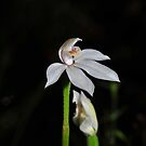 Caladenia alpina by Colin12