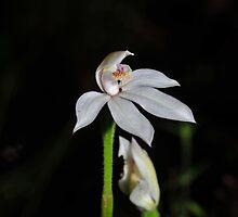 Caladenia alpina by Colin12