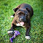 Molly the Staffordshire Bull Terrier by Charlotte Reeves