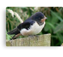A Beautiful Swallow Canvas Print