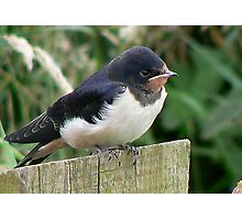 A Beautiful Swallow Photographic Print