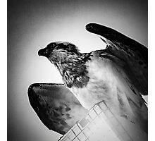 Sea Eagle  Photographic Print